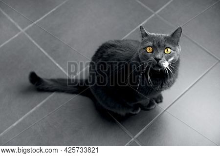 Gray Cat With Illuminating Yellow Eyes On A Ultimate Gray Background Top View, In The Trend Colors O