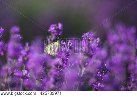 Lavender, Background Of Purple Flowers. A Beautiful White Butterfly Pieris Brassicae Sits On Flower.