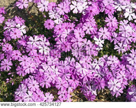 Pink Creeping Phlox Flowerng In A Rock Garden