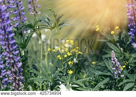 Beautiful Meadow Field With Lupins Wildflowers. Spring Or Summer Wildflowers Close-up. Health Care C