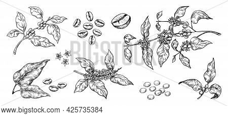 Coffee Beans. Hand Drawn Arabica Tree Branches With Leaves And Seeds. Tropical Blooming Plants. Blac