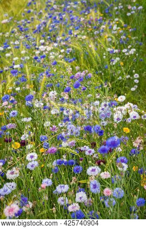 Blue Cornflowers And Meadow Flowers That Grow In The Meadow In Summer