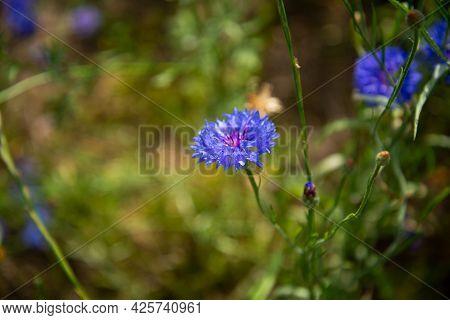 Beautiful Wildflowers Blue Cornflowers Closeup. Blurred Background