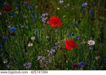 Vivid Poppy Field. Beautiful Red Poppy Flowers On Green Fleecy Stems Grow In The Field. Close-up Of