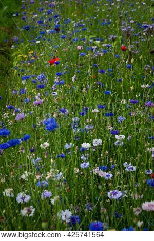 Beautiful Landscape With Summer Flowers In The Meadow. Blue Cornflowers, White Flowers And Red Poppi