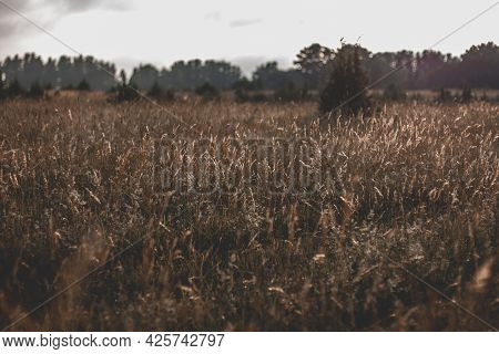 Beautiful Meadow With Reeds, Which Is Illuminated By Golden Sunlight At Sunset