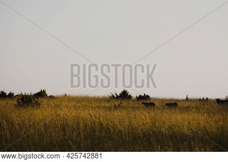 Silhouettes Of Sheep Grazing In A Meadow.