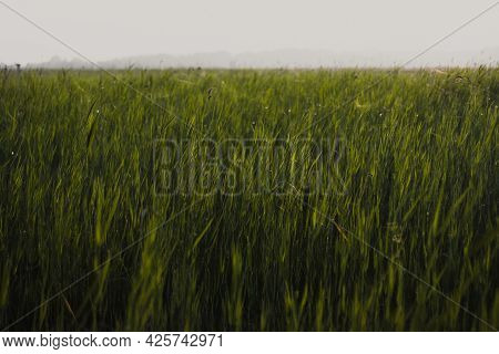 Summer Meadow Grass And Weed Texture. Abstract Green Foliage Blur Background With Shallow Depth Of F
