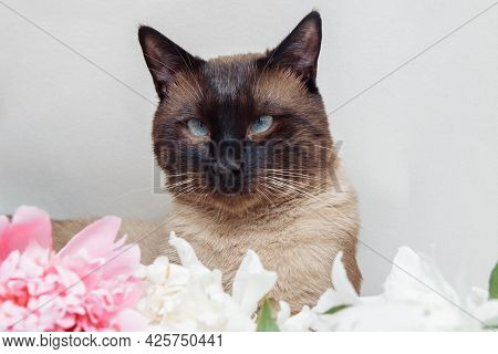 Portrait Of Siamese Cat With Blue Eyes Closeup On White Background With White And Pink Peony Flowers