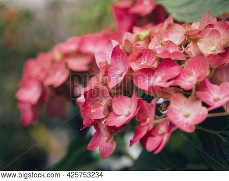 The Hydrangea Flower Is Red In Close-up. Blooming, Petals, Selective Focus