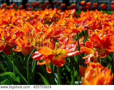 Close-up Of A Lot Of Orange-scarlet Tulips. Flower Bed, Can Be Used As A Background