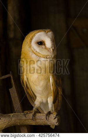 A Barn Owl Perched On Old Vintage Tools In A Barn.
