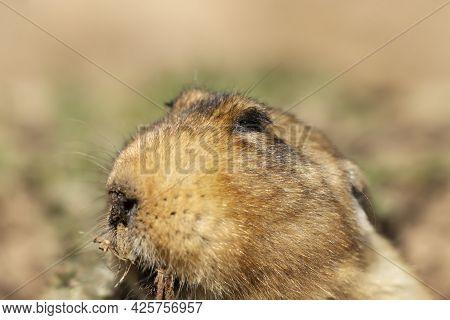 Portrait Of A Big-headed African Mole-rat, Bale Mountains, Ethiopia.