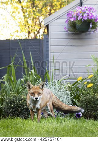Red Fox (vulpes Vulpes) Standing By A Shed In The Garden, United Kingdom.