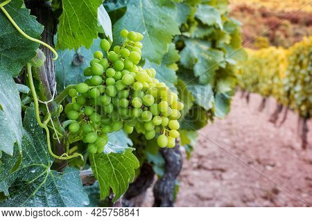 Fruit Set In A Vineyard. Bunches Of Grapes With The Berries Just Formed After Flowering. Traditional