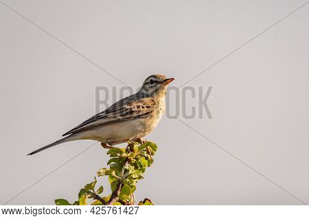 Tawny Pipit, Anthus Campestris, Single Bird In The Wild.