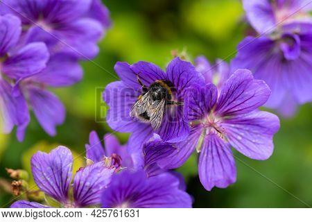 Bumblebee Feeding On Purple Geranium Flower In Summer Cottage Garden.