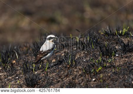 Northern Wheatear Oenanthe Oenanthe Male. Bird Is Sitting In The Burnt Grass.