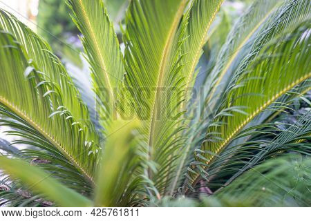 Palm Tree Leaves Close Up In Garden