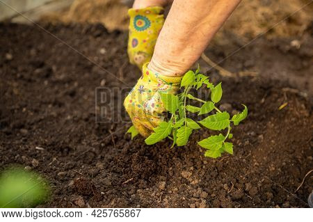 Planting A Tomatoes Seedling, Woman Hands In Colorful Gloves