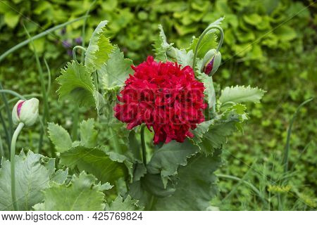 Nature Springtime Concept. Petal Of Red Poppy Flowers In The Garden Or Meadow On A Blurred Green Nat