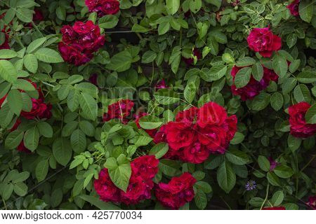 Bright Red Roses With Buds On A Background Of A Green Bush After Rain. Beautiful Red Roses In The Su