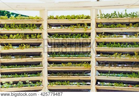 Wooden System Of Vertical Urban Farming And Gardening Technology. Organic Vertical Kitchen Garden Wi