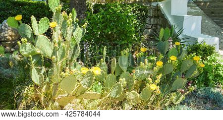 Prickly Pear Cactus With Numerous Yellow Flowers, Grows In The Park, Outdoors.