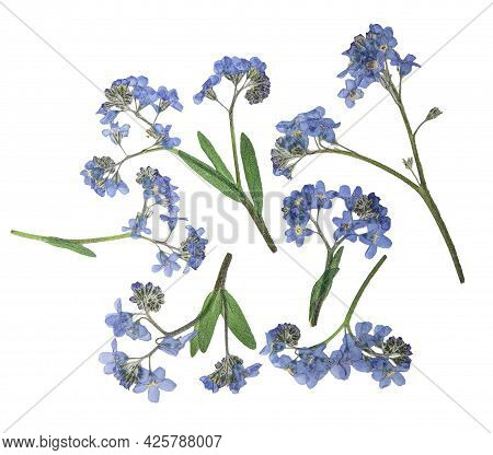 Pressed And Dried Delicate Blue Flowers Forget-me-not. Isolated On White Background. For Use In Scra
