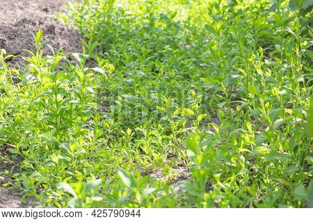 Polygonum Aviculare Textured - Medicinal Plant With Many Benefits. Selective Focus