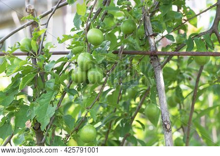 Selective Focus Of Mirabelle Tree With Green Fruits In The Garden