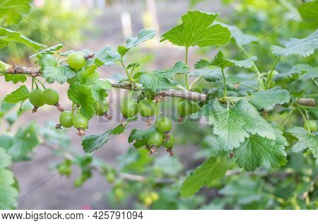 Selective Shot Of Green Gooseberries On A Branch