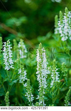 salvia flowers in the garden