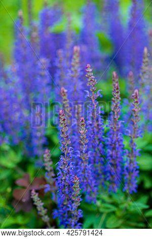 blue salvia in the garden