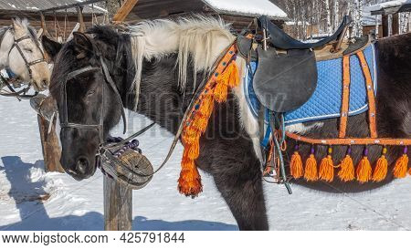 A Black Horse With A White Mane Is Tied To A Rack, Close-up. The Animal Is Wearing Decorative Harnes