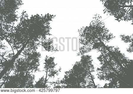 The Tops Of The Trees In The Pine Forest. Preparation For Design
