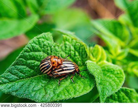 Mating Season Of The Colorado Potato Beetle On Potatoes. Colorado Beetle. Leptinotarsa Decemlineata.