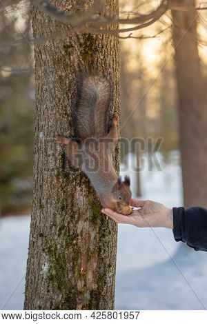 A Squirrel Takes Nuts From A Man's Hand, A Hungry Squirrel In A Forest In Winter, A Man Feeds Wild S