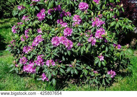 Large Bush Of Many Delicate Vivid Pink Flowers Of Azalea Or Rhododendron Plant In A Sunny Spring Jap