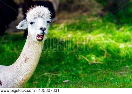 Cute White Alpaca On A Green Grass Background.cute Alpaca On The Farm. Beautifull Vicugna Pacos.summ