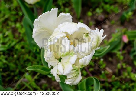 Close Up Of One Large Delicate White Tulip In Full Bloom In A Sunny Spring Garden