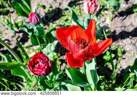 Close Up Of One Delicate Red Tulip In Full Bloom In A Sunny Spring Garden