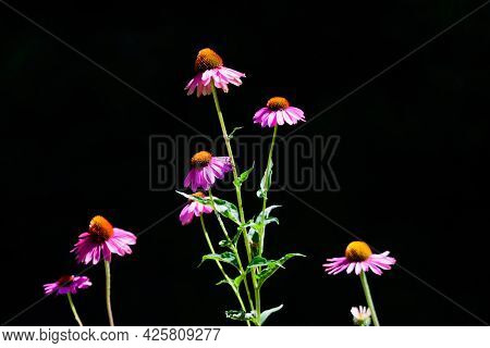 Delicate Pink Echinacea Flowers In Soft Focus In A Garden In A Sunny Summer Day