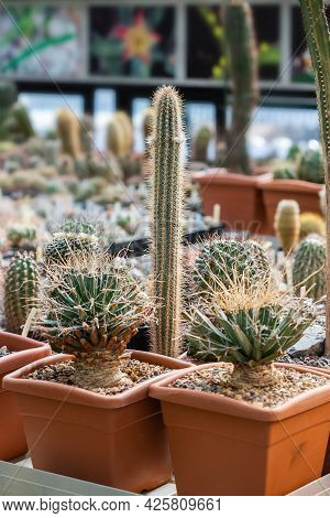 Collection Of Various Tropical Cactus And Succulent Plants In Different Pots. Potted Cactus At The G