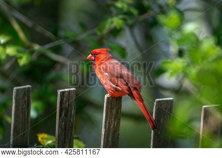 Beautiful Detailed Close-up Of A Spectacular Red Male Cardinal Bird Perched On A Wooden Picket Fence