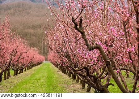 Peach Orchard. Aisle With Flowering Peach Trees. Selective Focus.