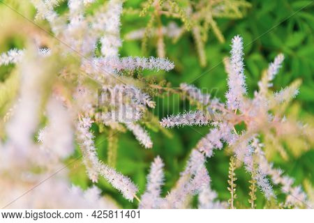 Pink Astilbe Among Green Foliage, Delicate Peach Flower Background.