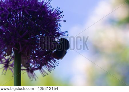 The Silhouette Of A Bumblebee Collecting Honey On A Large Onion Flower Against The Blue Sky.