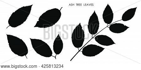 Black Silhouettes Of Leaves Isolated On White Background. Autumn Fallen Leaves Of Ash Tree. Vector