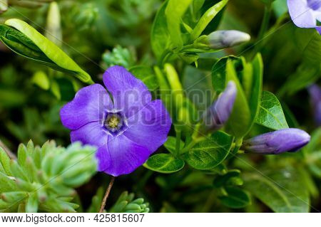 Vinca Minor, Common Names Lesser Periwinkle Or Dwarf Periwinkle, Is A Species Of Flowering Plant In